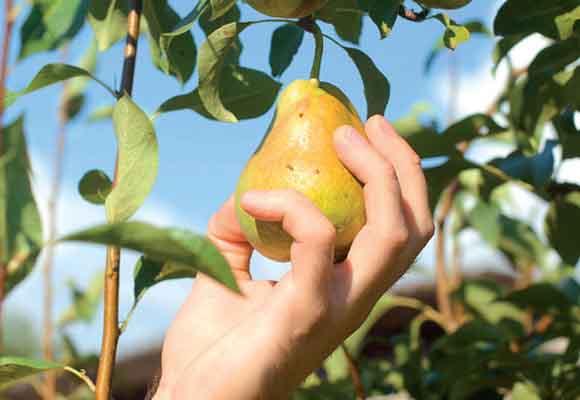 mercado_alimentar_apanhar pera