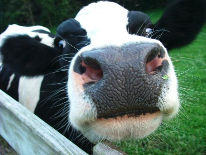 vacas-5313